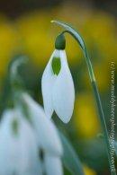 Galanthus 'Penelope Ann'