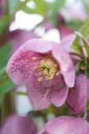 Helleborus x hybridus Pink spotted Anemone centred