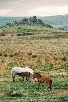 Dartmoor Gray Mare and foals