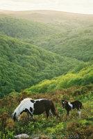 Dart Gorge Dartmoor Mare and Foal