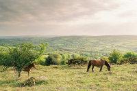 Widecombe Valley Dartmoor mare and foal