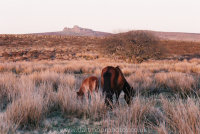 Dartmoor mare and foal