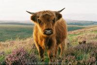 Highland Calf with Heather