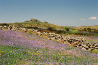 Bluebells Houndtor with dry stone wall