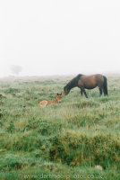 Dartmoor Mare and Foal in dawn mists