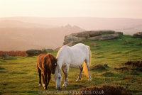 Dartmoor ponies with Houndtor