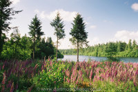 Tottiford Reservoir with foxgloves