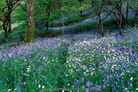 Bluebells and Stichwort with Badger Track