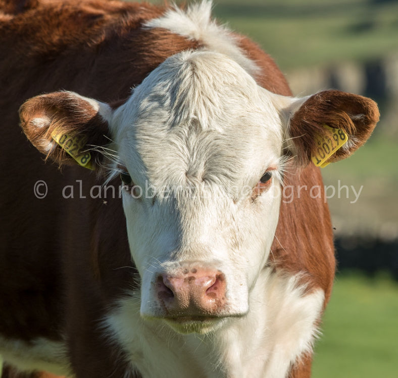 BAIL HILL HEREFORDS-3648 56