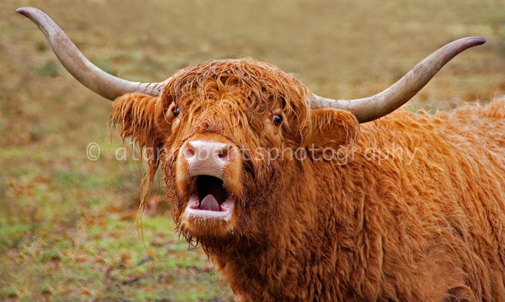 TALKING COW by Alan Roberts