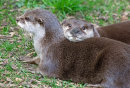 Pair of Asian Otters