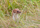 Weasel on the Hunt