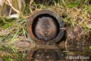 'By the River', Water Vole
