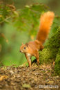 Red Squirrel on the Forest Floor