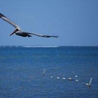 Belize pelican