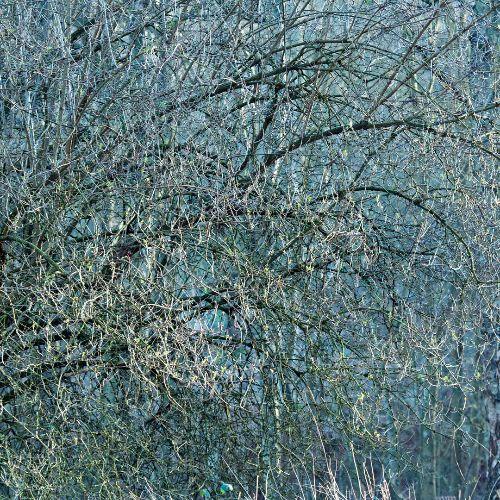 Cannock Chase Fine Art Winter Tree Series cc8015