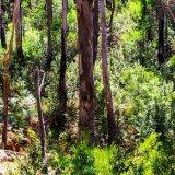 Gum Trees, Grampians