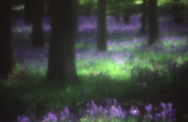 Bluebells in Ashridge