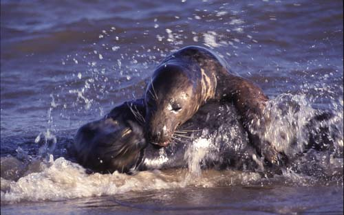 Atlantic Grey Seals at play