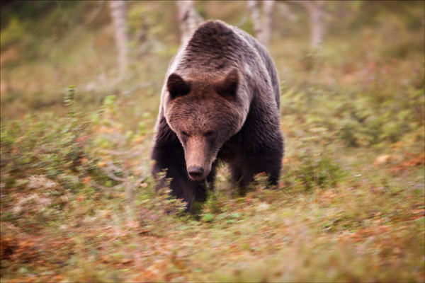 Advancing Bear 2