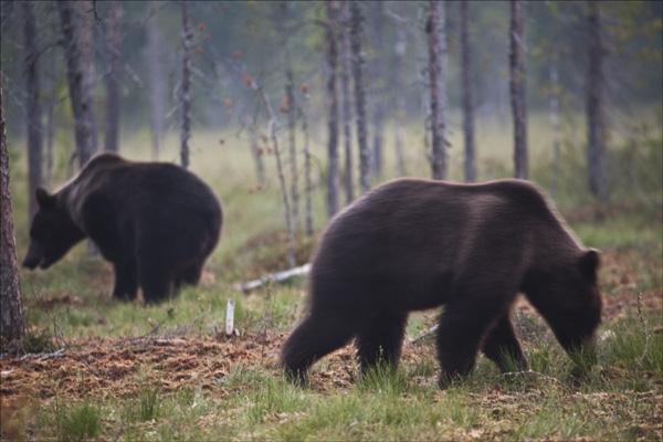 Bears occupied.