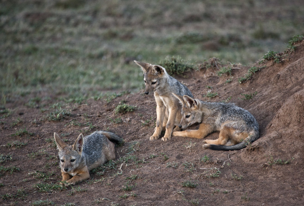 Black Backed Jackals