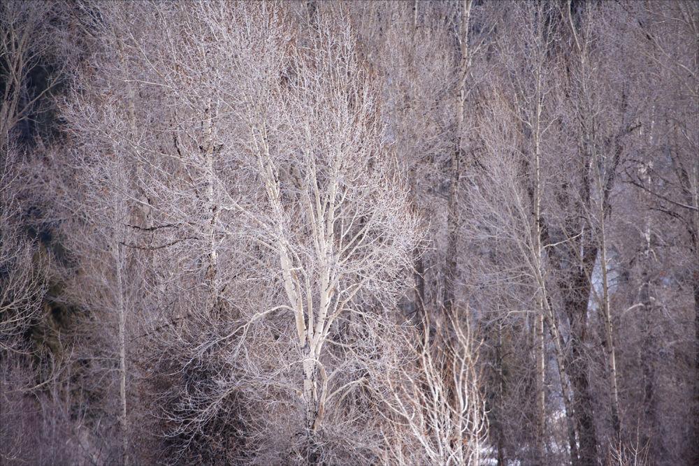 Cottonwoods 3