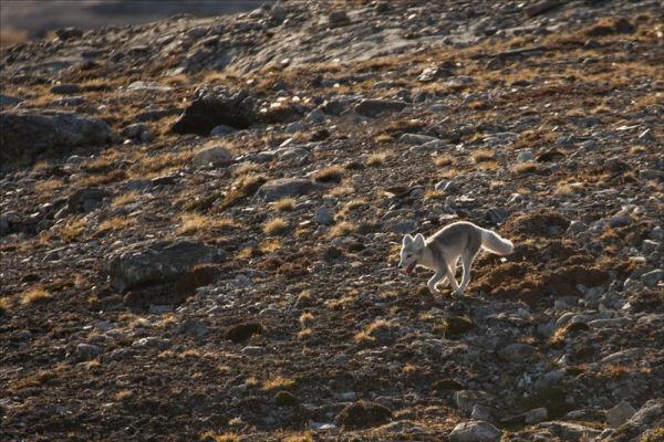 Arctic Fox on the run.