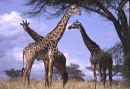 Giraffe Diner.