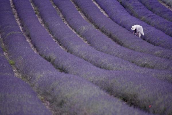 Lavender Picker.