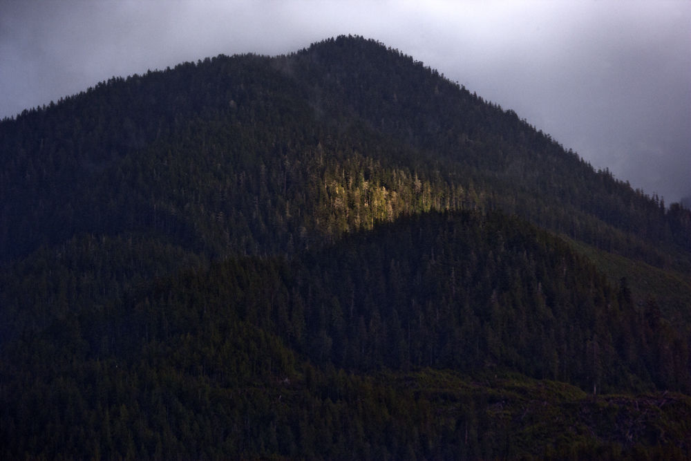 Light in Sitka Spruce
