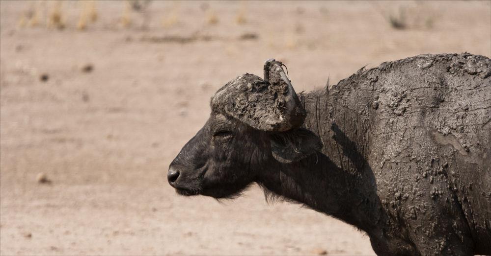 Mud covered Cape Buffalo