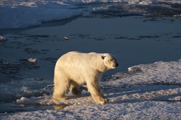 Polar Bear Gait.