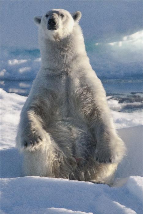 Polar Bear stand.