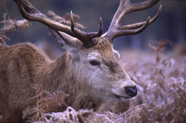 Red Deer Portrait.