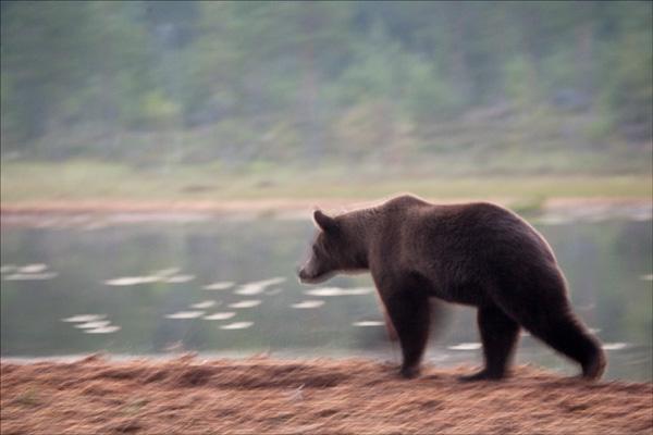 Running Bear 2