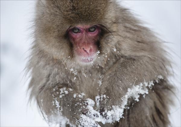 Snow Macaque