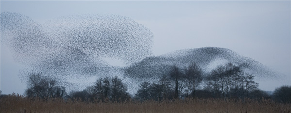 Starlings on the move.