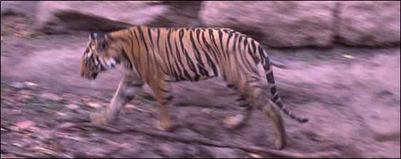 Bengal Tiger on the move.