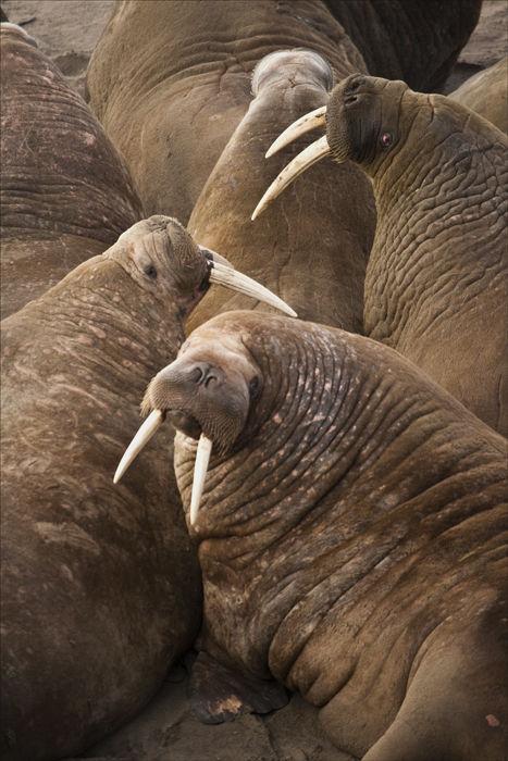 Walrus Pack