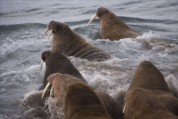 Walrus panic