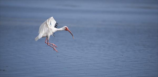 White Ibis landing.