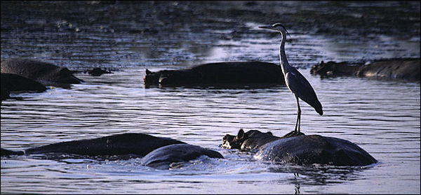 African Blue Heron on hippo.