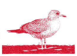 Red Herring Gull