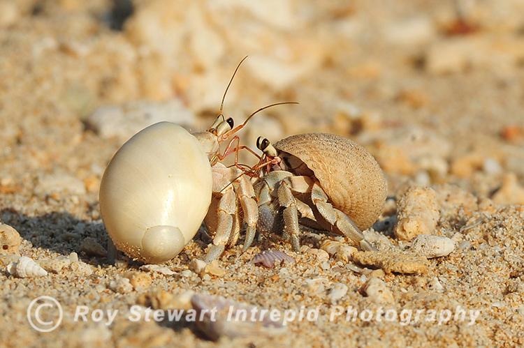 Hermit Crabs, Thailand