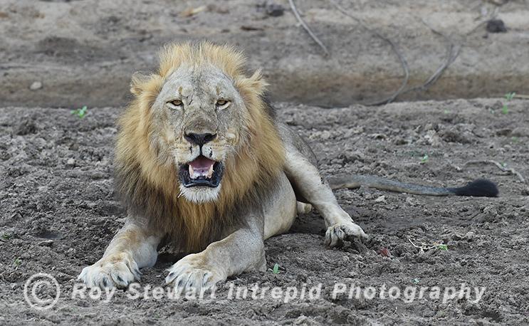 Lion,  Zambia