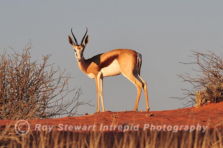 Springbok,  Namibia