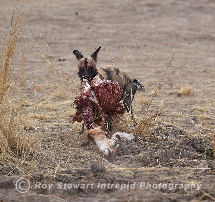 Wild Dog,  Zambia