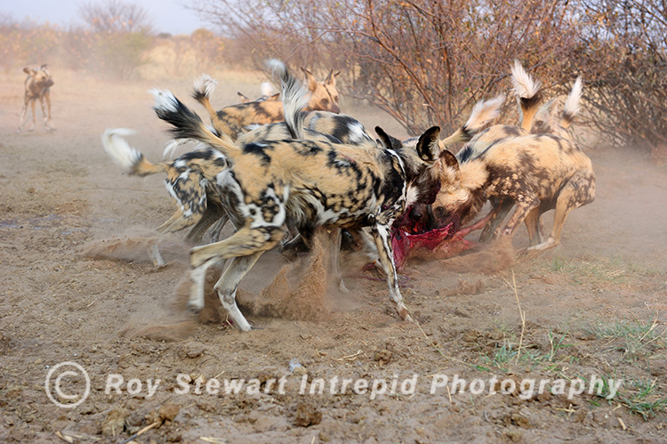 Wild Dogs,  Botswana
