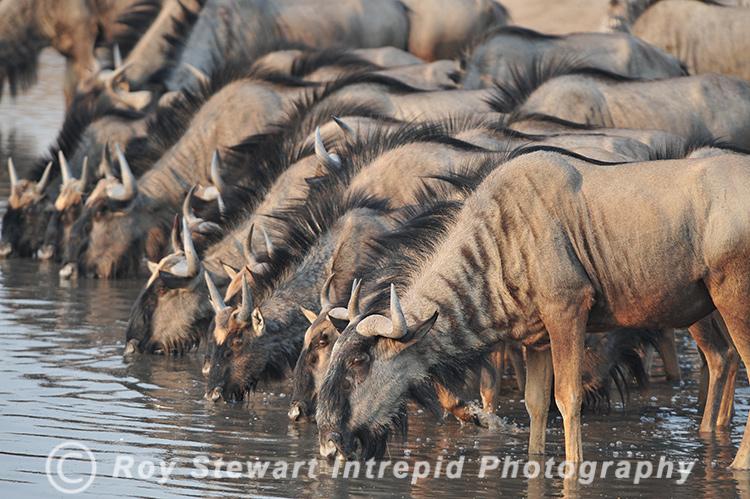 Wilderbeast,  Namibia